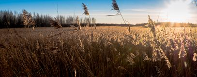 Reed grass with golden light Royalty Free Stock Photos