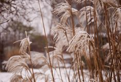Frozen Reed grass in Winter royalty free stock images