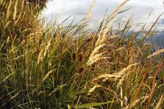 Reed. Grass grows on the lake Stock Images