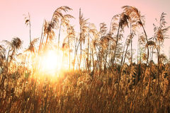 Reed grass at the lake shore, evening light Stock Photo