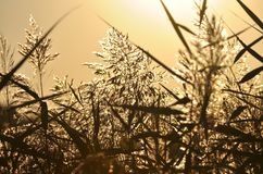 Reed grass in the light of setting sun. Royalty Free Stock Photography