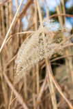 Reed grass Royalty Free Stock Photo