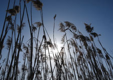 Reed grass at the morning under blue sky Stock Photography