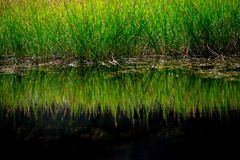 reed grass reflected in still unpolluted water stock photo