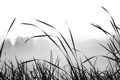 Reed and grass with smooth background in black and white Stock Photography
