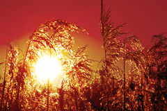 Reed grass at sunset, with back lighting Royalty Free Stock Images