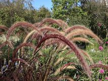 Reed Grass stock video