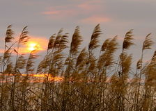 Reed Grass. Swaying in the wind during a sunset on the Gulf of Mexico Royalty Free Stock Image