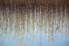 Reed grass water reflection Stock Photography