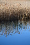 Reed grass water reflection Stock Images