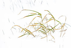 Reed grass in winter landscape Royalty Free Stock Photography