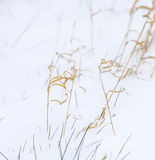 Reed grass in winter landscape Stock Images