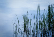Reed Grasses in Water Royalty Free Stock Photography