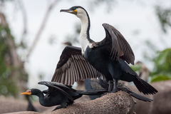 Reed and Great Cormorants Royalty Free Stock Photos