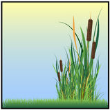 Reed. Green reeds in the grass, vector illustrations Stock Photos