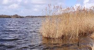 Reed growing in a lake moved by storm. In late summer in The Netherlands stock footage