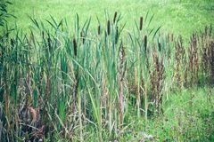 Reed. That grows to a sump with meadow Stock Images