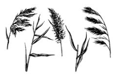 Reed Hand drawn sketch. Vector set. Water plant illustration. Reeds in a pond, doodle style stock illustration