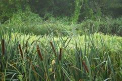 Reed, hierba del bastón por la mañana brumosa Fondo del concepto de la caza Foto de archivo