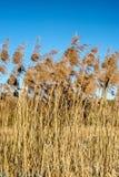 Reed im Wind Lizenzfreies Stockbild