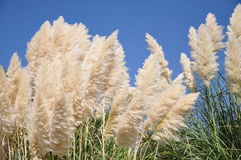 Reed In The Wind Royalty Free Stock Image