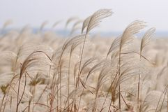 Free Reed In The Wind Stock Images - 47301694