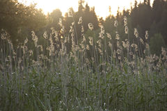 Reed ,Karelia, Russia Royalty Free Stock Photos