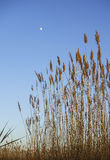 Reed la luna Fotografie Stock Libere da Diritti
