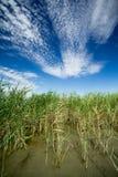 Reed in lake Stock Image