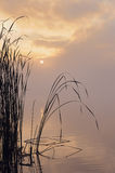 Reed at lake in early morning mist Royalty Free Stock Image