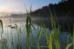 Reed in the lake a foggy morning Stock Images