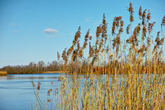 Reed at lake scenery Stock Photos