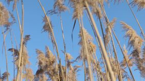 Reed at a lakeside. In autumn stock footage
