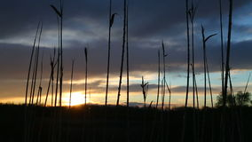 Reed at a lakeside. Sunset stock video footage