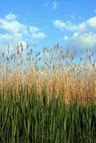 Reed landscape Stock Photo