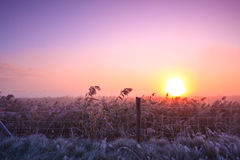 Reed landscape at sunrise in winter Stock Photos