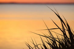 Reed leaves by sunset Royalty Free Stock Photography