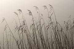 Reed in the light of the rising sun Royalty Free Stock Photos