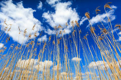Reed lit by sun with cloudscape Royalty Free Stock Photo