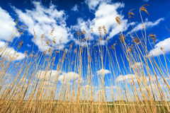 Reed lit by sun with cloudscape Stock Image