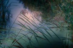 Reed. Little river in Neerpeel, Netherlands Royalty Free Stock Image