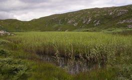 Reed llenó la cabeza de la oveja del lago fotografía de archivo libre de regalías