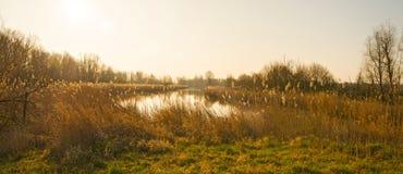 Reed a lo largo de un lago en luz del sol Imágenes de archivo libres de regalías