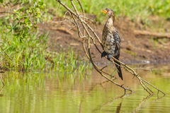 Reed or Long-tailed Cormorant, Waiting. A Reed Cormorant, perched on a branch overhanging a dam in Nairobi National Park, Kenya, waiting for a fish to swim by Royalty Free Stock Image