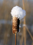 Reed mace. Royalty Free Stock Images