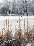 Reed mace in the foreground of a scenery in winter Stock Images