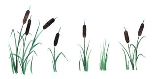 Reed mace hand draw. stock illustration