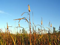 Reed in marsh Stock Image