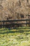 Reed marsh Royalty Free Stock Photo