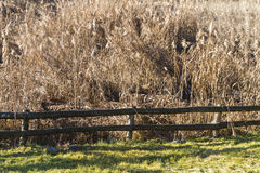 Reed marsh Stock Image